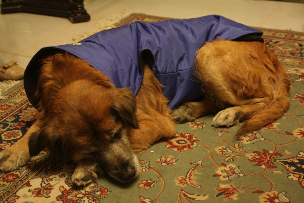 Clad in his Christmas-present jacket, Simba sought refuge on the carpet.